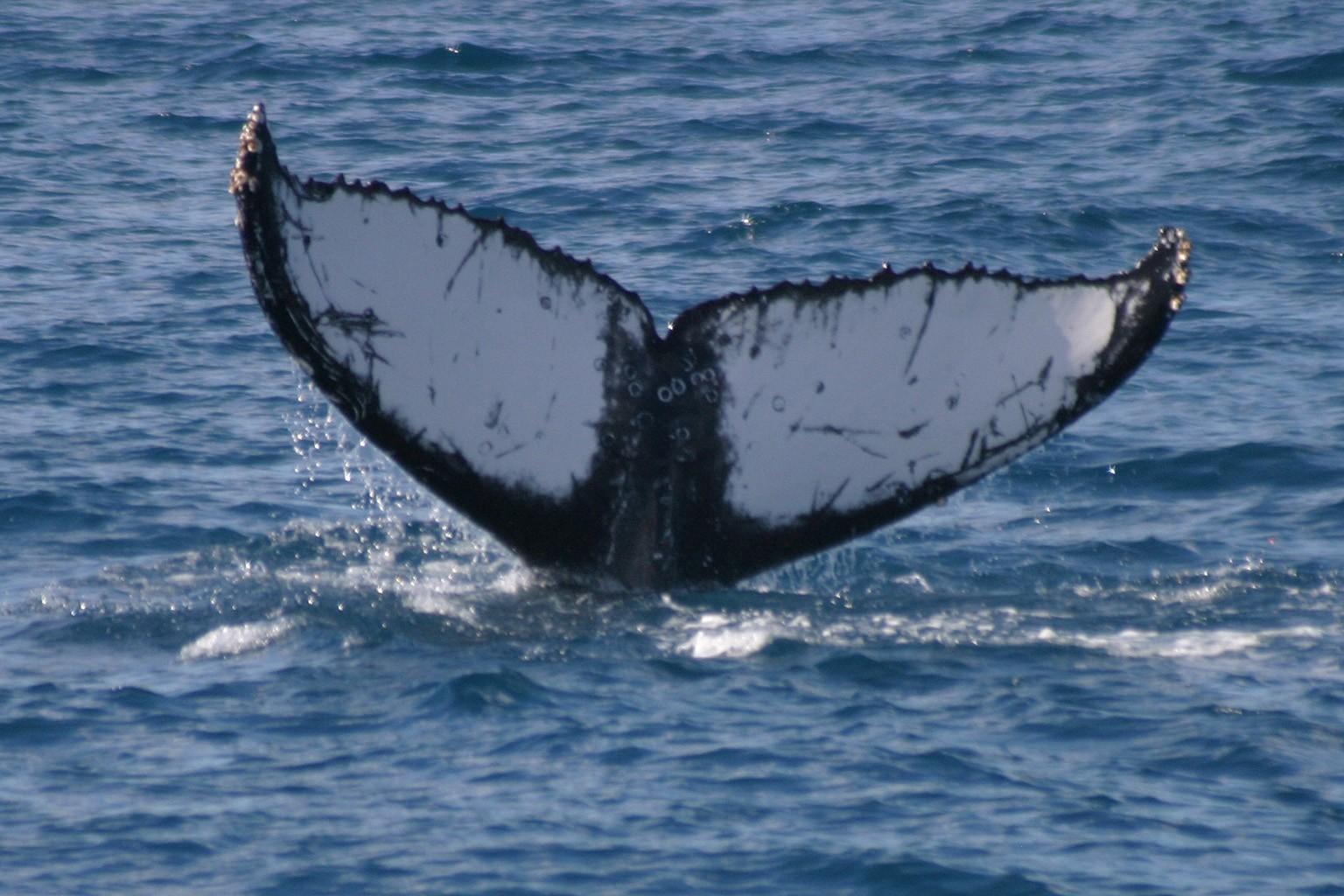 Humphrey the Humpback Whale
