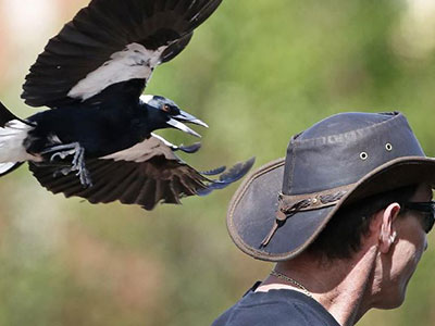 Magpies swoop to protect their chicks in the nest